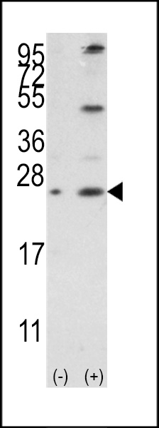 WB - Bcl-w Antibody (BH3 Domain Specific) AP1305a