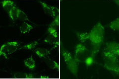 ICC - Cleaved LC3B Antibody AP1806a