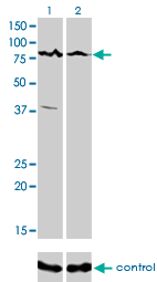 WB - ALS2CR8 Antibody (monoclonal) (M01) AT1127a