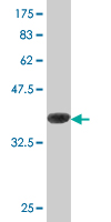 WB - ASNA1 Antibody (monoclonal) (M02) AT1215a