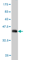 WB - ASNA1 Antibody (monoclonal) (M03) AT1216a