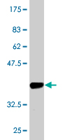 WB - AVEN Antibody (monoclonal) (M08) AT1247a