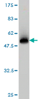WB - BCL2L1 Antibody (monoclonal) (M01) AT1282a