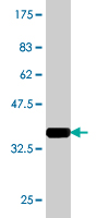 WB - BCL2L12 Antibody (monoclonal) (M01) AT1283a