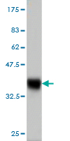 WB - C13orf1 Antibody (monoclonal) (M01) AT1327a