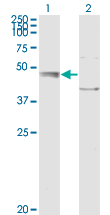 WB - C20orf31 Antibody (monoclonal) (M01) AT1342a