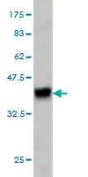 WB - C9orf96 Antibody (monoclonal) (M03) AT1352a