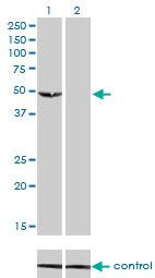 WB - C9orf98 Antibody (monoclonal) (M01) AT1353a