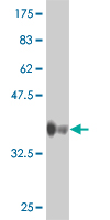 WB - CCRN4L Antibody (monoclonal) (M01) AT1426a