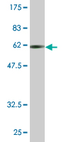 WB - CDC37L1 Antibody (monoclonal) (M03) AT1462a