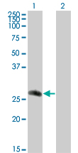 WB - CDC42EP2 Antibody (monoclonal) (M01) AT1466a
