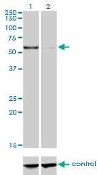 WB - CPNE1 Antibody (monoclonal) (M01) AT1606a