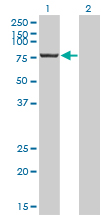 WB - CPSF3 Antibody (monoclonal) (M01) AT1610a