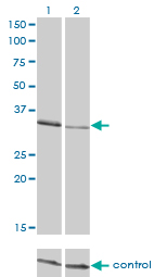 WB - CRKL Antibody (monoclonal) (M03) AT1624a
