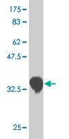 WB - CSRP3 Antibody (monoclonal) (M03) AT1659a