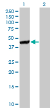 WB - CTH Antibody (monoclonal) (M01) AT1667a