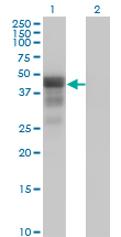 WB - DMRT1 Antibody (monoclonal) (M01) AT1783a