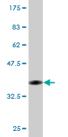 WB - EEF1D Antibody (monoclonal) (M04) AT1856a