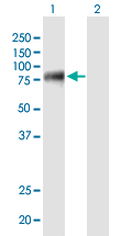 WB - EIF4G3 Antibody (monoclonal) (M03) AT1884a
