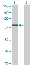 WB - EXOC3 Antibody (monoclonal) (M01) AT1963a