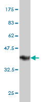 WB - FAM50A Antibody (monoclonal) (M02) AT1993a