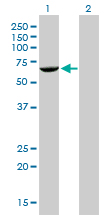 WB - FANCG Antibody (monoclonal) (M01) AT1997a