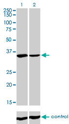 WB - FMR1 Antibody (monoclonal) (M01) AT2078a
