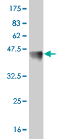 WB - FOSL2 Antibody (monoclonal) (M01) AT2080a