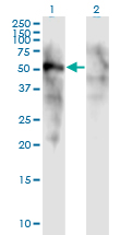 WB - FOXD1 Antibody (monoclonal) (M01) AT2090a