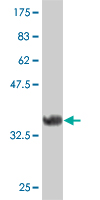 WB - FRZB Antibody (monoclonal) (M02) AT2109a