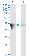 WB - GAS2 Antibody (monoclonal) (M01) AT2155a