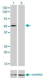 WB - GSR Antibody (monoclonal) (M01) AT2273a