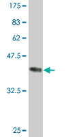 WB - HBZ Antibody (monoclonal) (M01) AT2326a