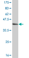 WB - HCLS1 Antibody (monoclonal) (M02) AT2329a