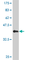 WB - HEY1 Antibody (monoclonal) (M09) AT2358a