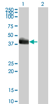 WB - HLF Antibody (monoclonal) (M01) AT2379a