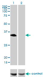 WB - HLF Antibody (monoclonal) (M04) AT2380a
