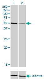 WB - HNF4A Antibody (monoclonal) (M04) AT2393a