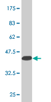 WB - HOXD3 Antibody (monoclonal) (M09) AT2428a