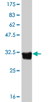 WB - HTR5A Antibody (monoclonal) (M01) AT2457a