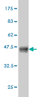 WB - HYOU1 Antibody (monoclonal) (M01) AT2464a