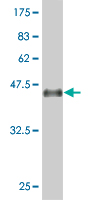 WB - ID2 Antibody (monoclonal) (M04) AT2476a