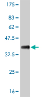 WB - ID3 Antibody (monoclonal) (M02) AT2477a