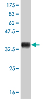 WB - ID3 Antibody (monoclonal) (M03) AT2478a
