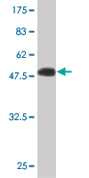 WB - IGSF6 Antibody (monoclonal) (M01) AT2495a