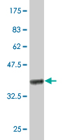 WB - IL10 Antibody (monoclonal) (M03) AT2500a