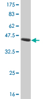 WB - IRF2 Antibody (monoclonal) (M01) AT2541a