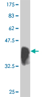 WB - IRF2 Antibody (monoclonal) (M04) AT2543a