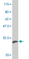 WB - KLF13 Antibody (monoclonal) (M01) AT2631a