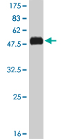 WB - KLF7 Antibody (monoclonal) (M01) AT2634a